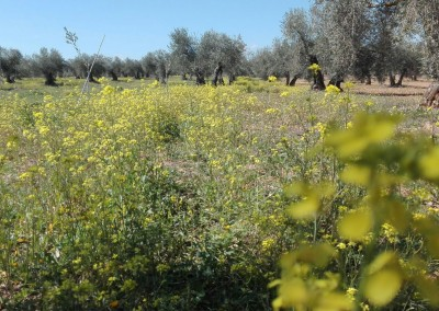 Suelo ecologico olivar finca la oliveta
