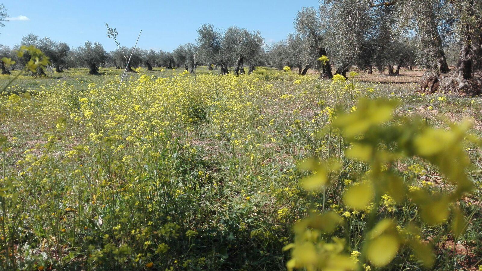Suelo ecológico olivar finca la oliveta